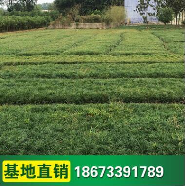 供应批发 青叶麦冬草 四季常青草皮 护坡绿化 各类地被植物