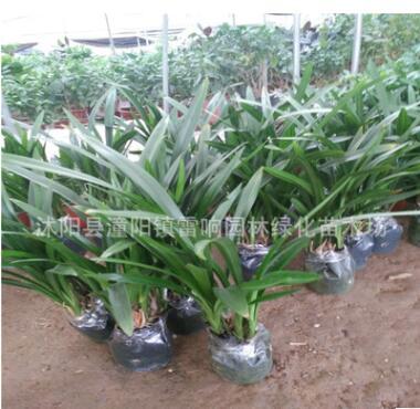 兰花批发 高档花卉 墨兰企黑 室内空气净化植物盆栽观赏植物