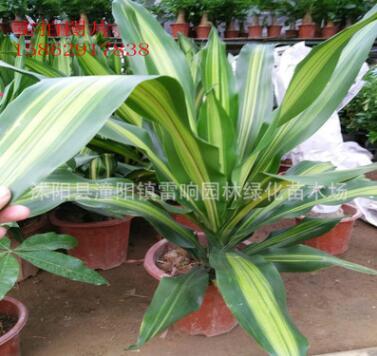 金边巴西铁 也门铁 香龙血树 ,绿植盆栽,室内花卉 观叶植物盆栽