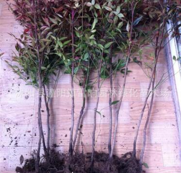 批发供应 南天竹小苗 各种苗木小苗 南天竹苗 观叶植物 庭院植物