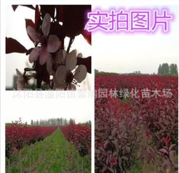紫叶矮樱苗木 工程绿化苗木
