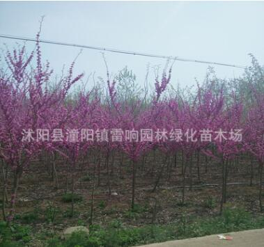 紫荆 紫荆花 紫荆树 丛生紫荆 风景树苗 绿化工程公司