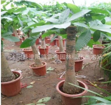 发财树 盆栽花卉绿色植物