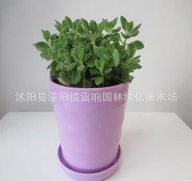 基地直销 香草植物 碰碰香一碰就香 室内芳香小盆栽