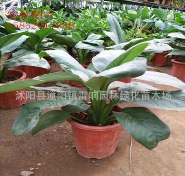 批发绿巨人盆栽 大型室内 吸收甲醛净化空气