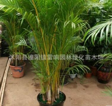 批发凤尾竹盆栽 室内高档植物 凤尾竹 散尾葵 净化空气量大