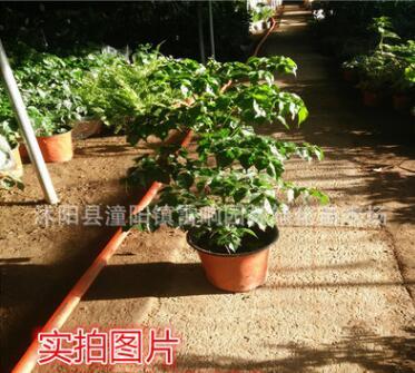 幸福树观赏绿化盆栽花卉 盆栽花卉 平安树 美观大方批发