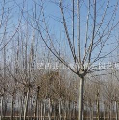 法梧,三角枫、丝棉木、喜树、椿树、胸径8-30cm