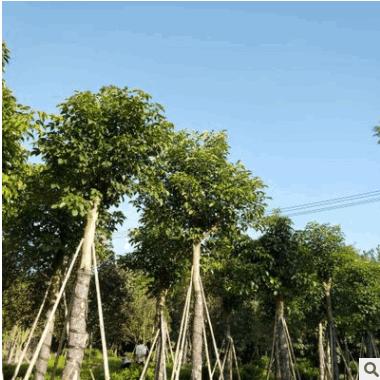 供应绿化苗木 乔木类【重阳木】规格齐全 行道树 量大优惠