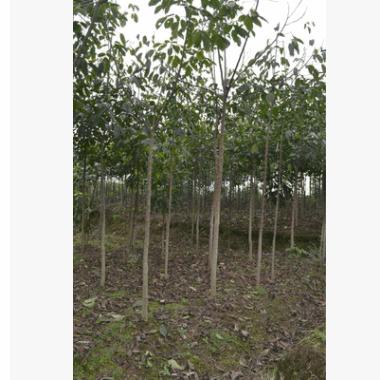 批量出售重阳木别名三叶树1至15公分树任你选。