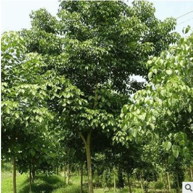 供应各种苗木 基地直销 优质 重阳木 规格齐全