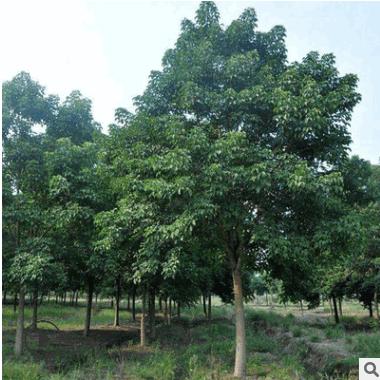 批发优质重阳木 绿化工程苗重阳木行道绿化树苗 耐干耐旱四季常青