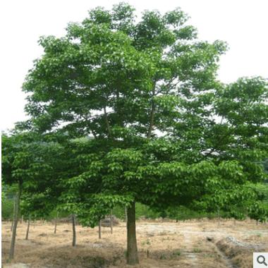 重阳木 土球好 冠幅好 花灌木 地被 球类 色块类 草花类 绿化树木