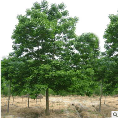 供应各种苗木 基地直销 优质 重阳木