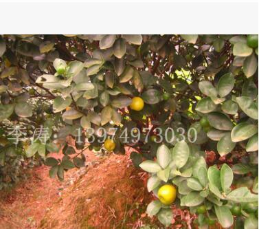 常绿灌木果树苗金桔树批发 金桔阳台盆栽苗 脆皮金桔果树苗