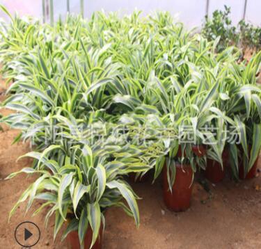 基地批发 室内盆栽 巴西美人 吸甲醛 净化空气