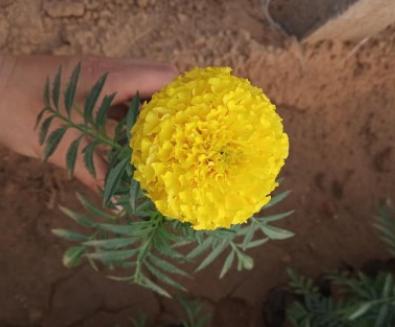 苗圃出售万寿菊 各种草花品种齐全 万寿菊种植厂家 量大优惠