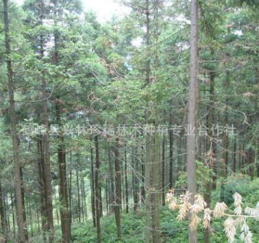 长期提供柳杉 柳杉树 柳杉苗 绿化柳杉 优质柳杉树