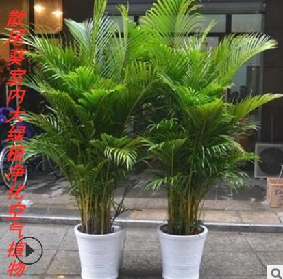 批发客厅大型植物散尾葵室内绿植大盆栽袖珍椰子苗凤尾竹净化空气