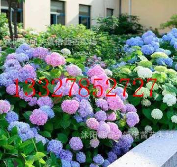 无尽夏 八仙绣球 大花绣球花苗 四季开花 园庭院 盆栽绿植物花卉