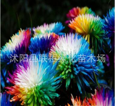 供应彩虹菊种子 菊花种子花环菊种子 阳台花卉植物室内盆栽花草