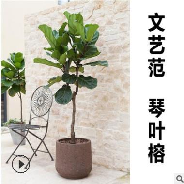 琴叶榕 大型室内盆栽绿植净化空气简约工业北欧风格植物 棒棒糖型