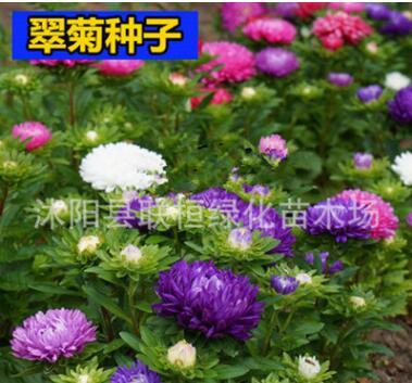 花种子翠菊种子四季播园林景观绿化鲜花种子花卉花盆花草种子