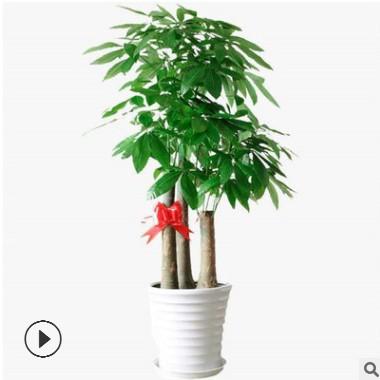 发财树盆栽植物 室内客厅 大型绿植盆景 四季常青办公室 招财花卉