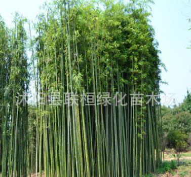 大量出售竹子 竹子苗 青竹苗 别墅庭院绿化竹子
