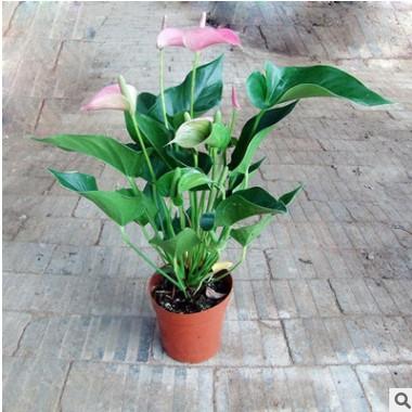 客厅办公室内绿植水培土培盆栽植物 红掌苗带花发货 四季开花包邮