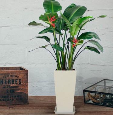 天堂鸟 鹤望兰盆栽 室内 大型植物 净化空气 吸甲醛 盆景花卉绿植