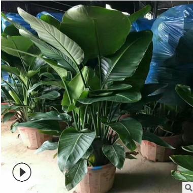 特价室内大型绿植花卉 天堂鸟 盆栽植物 鹤望兰 吸甲醛 净化空气