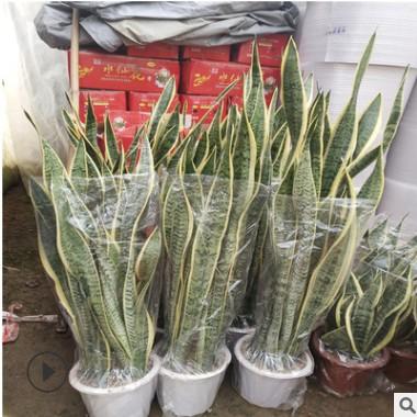 金边虎皮兰 盆栽绿植 室内客厅 大型 大虎尾兰植物净化空气吸甲醛