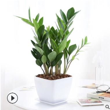 金钱树 摇钱树 室内客厅大绿植盆栽盆景花卉吸甲醛观叶 招财植物