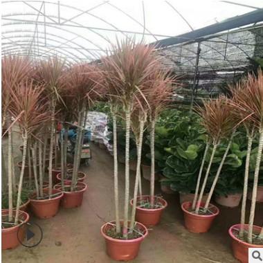 七彩铁 五彩千年木盆栽 三色龙血树 红竹观叶植物 吸甲醛室内绿植