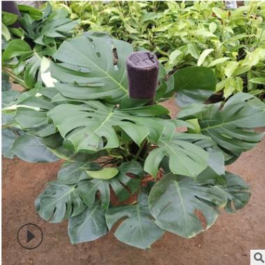 龟背竹 大型盆栽绿植 室内净化空气 大叶植物客厅吸甲醛 四季常青