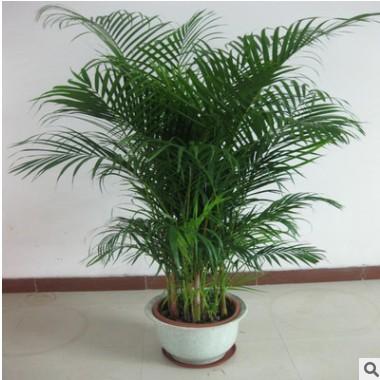 散尾葵 凤尾竹 富贵椰子室内客厅大型绿植袖珍椰子盆栽吸甲醛包邮