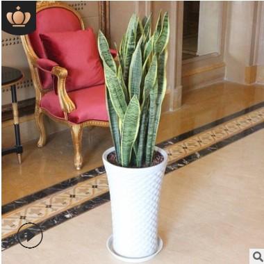 虎皮兰盆栽 虎皮兰 大 金边虎尾兰植物 室内吸甲醛绿植