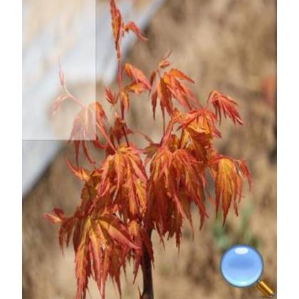 黄金枫种植基地