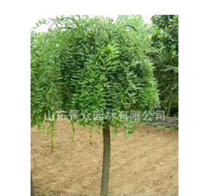 公司长期供应大量园林植物乔木 刺槐