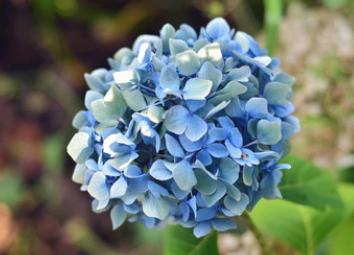 批发2018年新种子绣球花种子绿化草花种子八仙花种子粉团花包邮