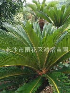 湖南直销 -铁树苗种子苏铁种子高 1.5-2m粗25公分 量大从优