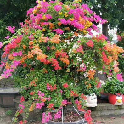 福建厂家直销批发福建多色造型三角梅盆栽绿化景观摆花盆景供应