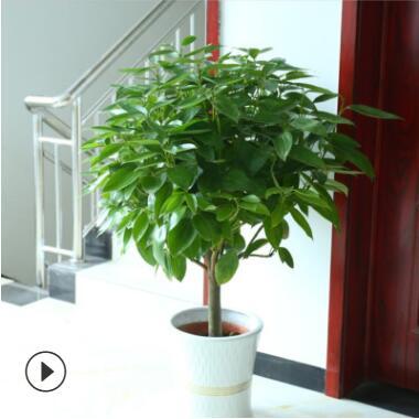 批发大型植物平安树 幸福树盆栽 平安树室内四季常青花卉观叶植物