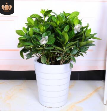独杆大叶栀子花盆栽植物浓香型水培丛生栀子花室内四季开花大树苗