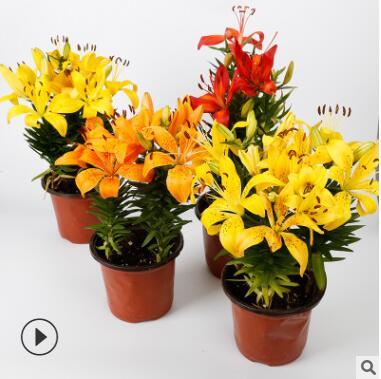 批发荷兰带芽百合花种球 香水百合花 百合种球多色系花卉盆栽绿植