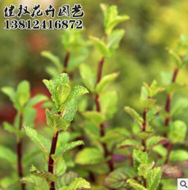 厂家批发留兰香薄荷种子定制花海 耐寒抗旱绿化护边香草量大从优