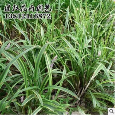 草花种子 观音草种子 可提供种植技术 易成活