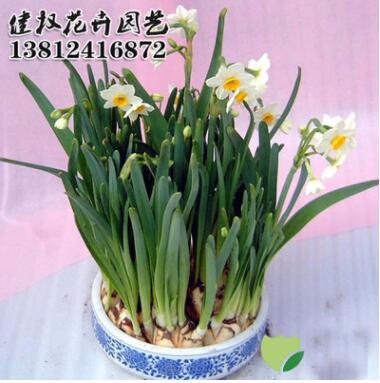 特价供应水仙花种球 水培植物 水仙花种球 球根大 品种纯