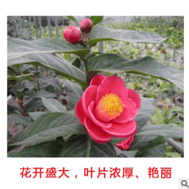越南四季海棠 大叶越南抱茎茶花 鲍茎茶树苗四季开花基地批发嫁接